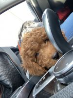 Cockapoo Puppies for sale in Hamden, CT, USA. price: NA