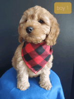 Cockapoo Puppies for sale in Charleston, SC, USA. price: NA