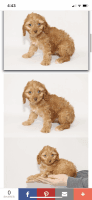 Cockapoo Puppies for sale in Rockville, MD, USA. price: NA