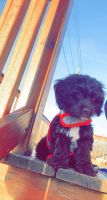 Cockapoo Puppies for sale in Postville, IA 52162, USA. price: NA