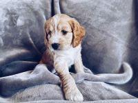 Cockapoo Puppies for sale in Norton Shores, MI 49456, USA. price: NA