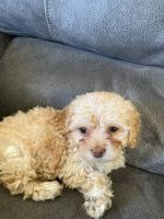 Cockapoo Puppies for sale in Ezel, KY 41425, USA. price: NA