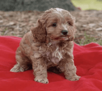 Cockapoo Puppies for sale in Indianapolis, IN, USA. price: NA