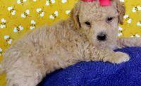 Cockapoo Puppies for sale in Washington, DC, USA. price: NA