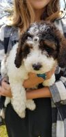 Cockapoo Puppies for sale in 5134 Church Rd, Mt Laurel Township, NJ 08054, USA. price: NA
