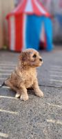 Cockapoo Puppies for sale in Philadelphia, PA 19134, USA. price: NA