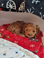 Cockapoo Puppies for sale in Philadelphia, PA, USA. price: NA