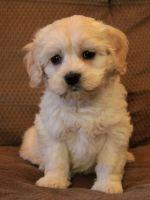 Cockapoo Puppies for sale in Nashville, TN, USA. price: NA
