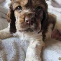Cockapoo Puppies for sale in Bayonne, NJ 07002, USA. price: NA