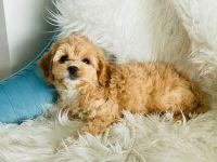 Cockapoo Puppies for sale in Trenton, NJ, USA. price: NA