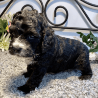 Cockapoo Puppies Photos