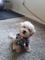 Cockapoo Puppies for sale in Modesto, CA, USA. price: NA