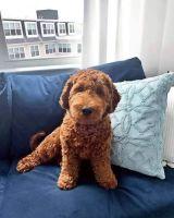 Cockapoo Puppies for sale in Miami Beach, FL, USA. price: NA