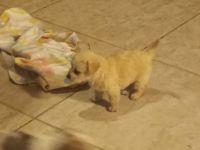 Cockapoo Puppies for sale in Clovis, CA, USA. price: NA