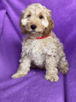 Cockapoo Puppies for sale in Los Angeles, CA 90003, USA. price: NA