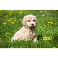 Cockapoo Puppies for sale in Clare, MI 48617, USA. price: NA