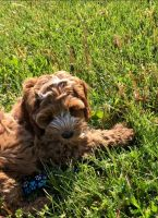 Cockapoo Puppies for sale in Marysville, OH 43040, USA. price: NA
