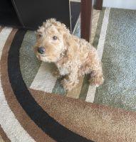 Cockapoo Puppies for sale in NE 211th St, Florida 33179, USA. price: NA