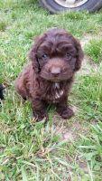 Cockapoo Puppies for sale in Patton, MO 63662, USA. price: NA