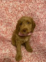 Cockapoo Puppies for sale in Palm Shores, FL 32940, USA. price: NA