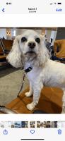 Cockapoo Puppies for sale in Traverse City, MI, USA. price: NA