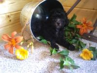 Cockapoo Puppies for sale in Mountain Home, AR, USA. price: NA