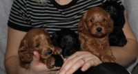 Cockapoo Puppies for sale in Price, UT 84501, USA. price: NA