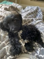 Cockapoo Puppies for sale in San Diego, CA 92108, USA. price: NA