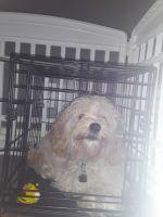 Cockapoo Puppies for sale in Elkton, MD 21921, USA. price: NA