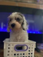 Cockapoo Puppies for sale in Katy, TX, USA. price: NA