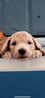 Cockapoo Puppies for sale in Tustin, CA 92782, USA. price: NA