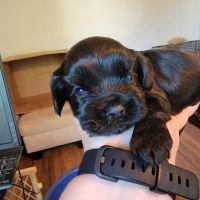 Cockapoo Puppies for sale in North Charleston, SC, USA. price: NA