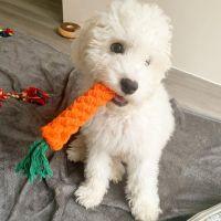Cockapoo Puppies for sale in Cornville, AZ 86325, USA. price: NA