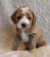 Cockapoo Puppies for sale in Las Vegas, NV 89107, USA. price: NA