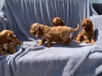 Cockapoo Puppies for sale in Bakersfield, CA, USA. price: NA