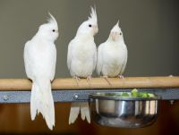 Cockatiel Birds for sale in South Lake Tahoe, CA 96150, USA. price: NA