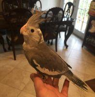 Cockatiel Birds for sale in Alexandria, VA, USA. price: NA