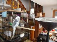 Cockatiel Birds for sale in Winfield, IL, USA. price: NA