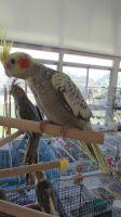 Cockatiel Birds for sale in Anaheim, CA, USA. price: NA