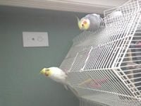 Cockatiel Birds for sale in Jersey City, NJ, USA. price: NA