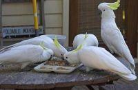 Cockatiel Birds for sale in Boston, MA, USA. price: NA