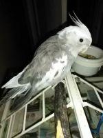 Cockatiel Birds for sale in Jacksonville, FL, USA. price: NA