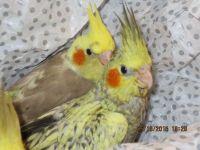 Cockatiel Birds for sale in Wilmington, NC, USA. price: NA