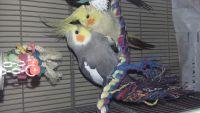 Cockatiel Birds for sale in Denver, CO, USA. price: NA