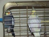 Cockatiel Birds for sale in Lansing, MI, USA. price: NA