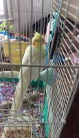 Cockatiel Birds for sale in Smithfield, UT 84335, USA. price: NA