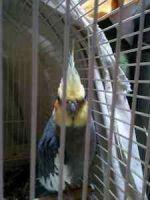 Cockatiel Birds for sale in Berkeley, CA, USA. price: NA