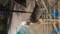 Cockatiel Birds for sale in Orlando, FL, USA. price: NA