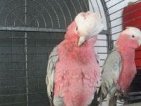 Cockatiel Birds for sale in Austin, TX, USA. price: NA