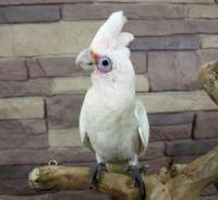 Cockatiel Birds for sale in Concord, CA, USA. price: NA